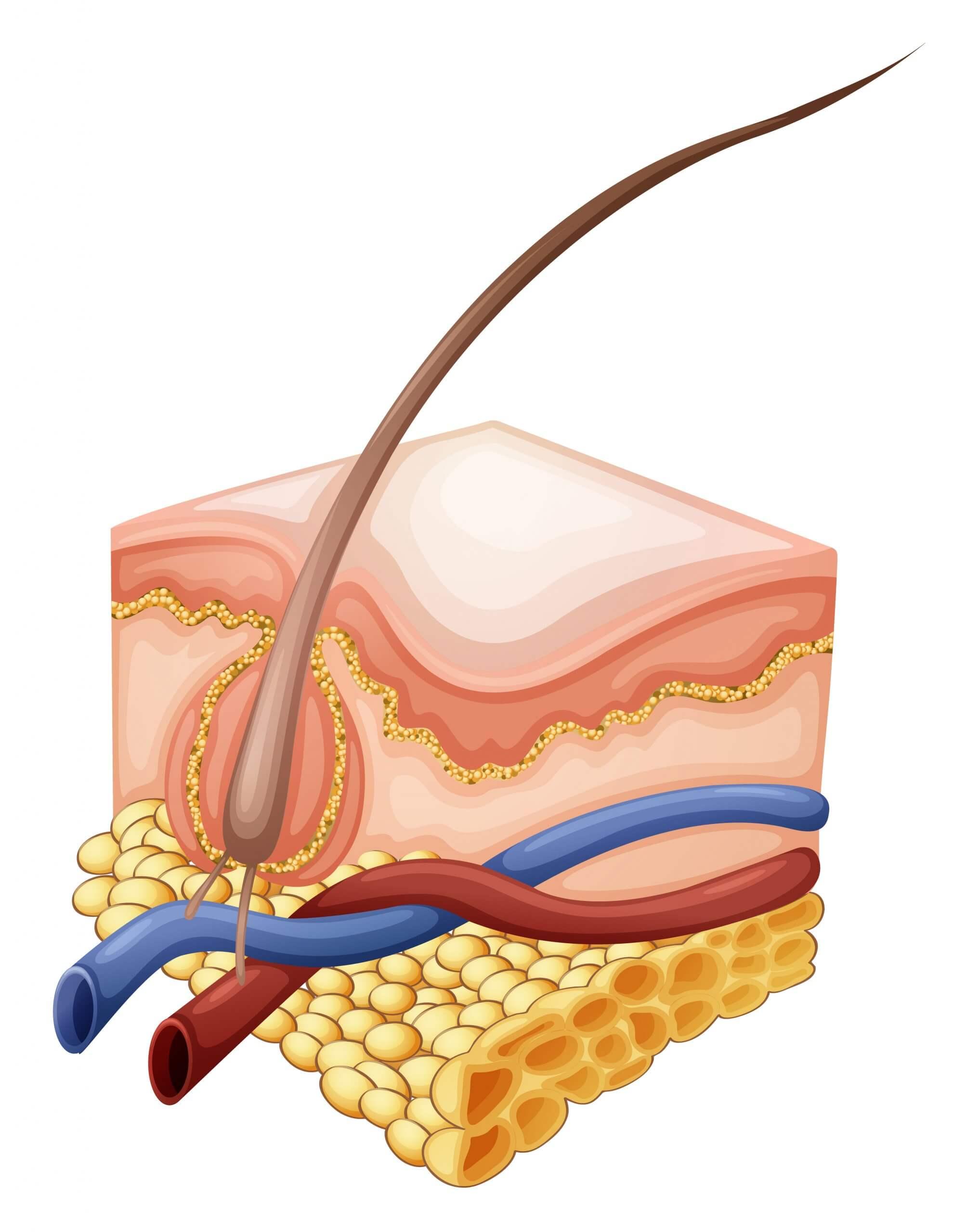 Multi Kolagén™ VERISOL® má pozitívny vplyv na hrúbku vlasov a rýchlosť proliferácie vlasových folikulov